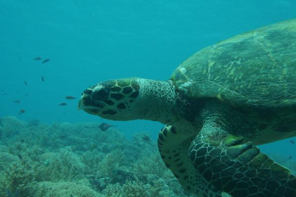 Tortugas del Mediterráneo - Tortuga bastarda o Lepidochelys kempii