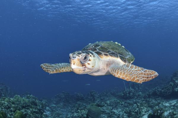 Tortugas del Mediterráneo - Tortuga boba o Caretta caretta