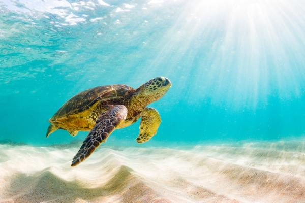 Tortugas del Mediterráneo - Tortuga verde o Chelonia mydas