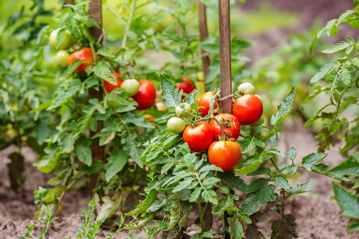Cómo Cultivar Tomates Ecológicos Guía Práctica