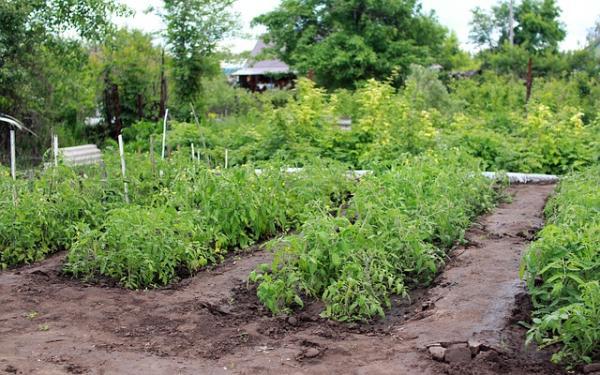 Cómo cultivar tomates ecológicos - Dónde y cómo plantar tomates ecológicos