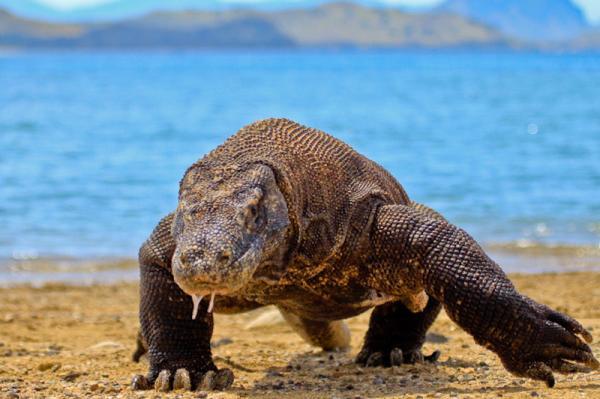 ¿El dragón de Komodo tiene veneno? - ¿El dragón de Komodo tiene veneno? - la respuesta