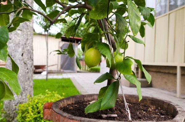 22 plantas que crecen rápido - Frutales que crecen rápido