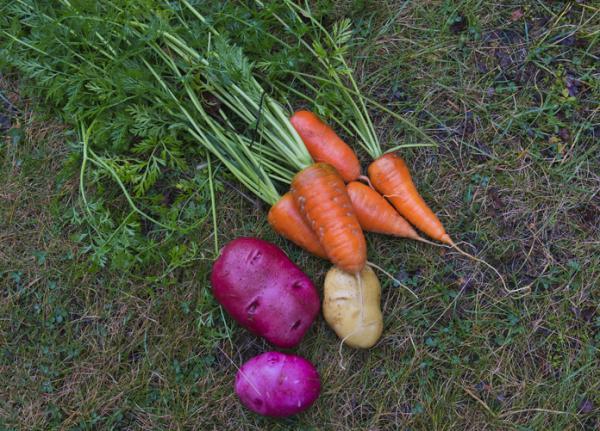Remedios caseros para eliminar el escarabajo de la patata - Asociación de cultivos