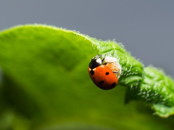 Remedios caseros para eliminar el escarabajo de la patata - Plantas que atraen a depredadores del escarabajo de la patata