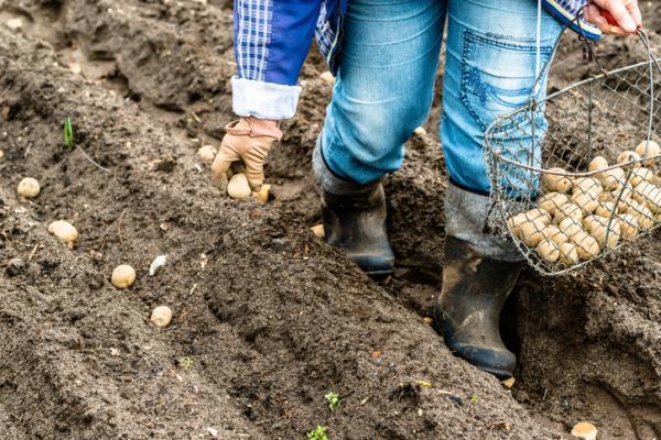 Cómo sembrar papas - Cuándo cosechar papas o patatas