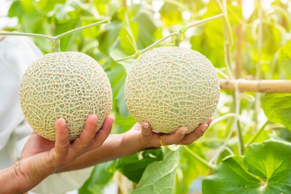 8 tipos de melones - Melón arus o japonés