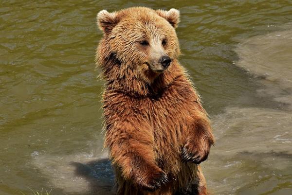 Por qué el oso pardo está en peligro de extinción - Cómo se puede proteger al oso pardo y evitar su extinción