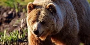 Por qué el oso pardo está en peligro de extinción