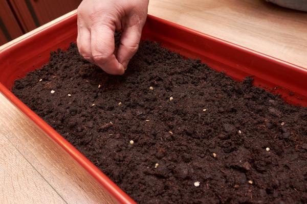 Germinar semillas de tomate: cómo hacerlo y cuidados - Cómo germinar semillas de tomate paso a paso