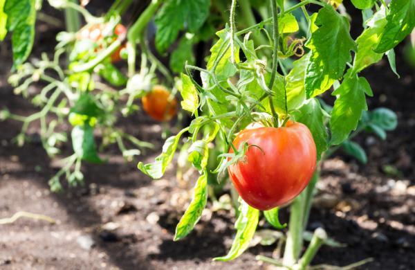 Germinar semillas de tomate: cómo hacerlo y cuidados - Cuidados de los tomates