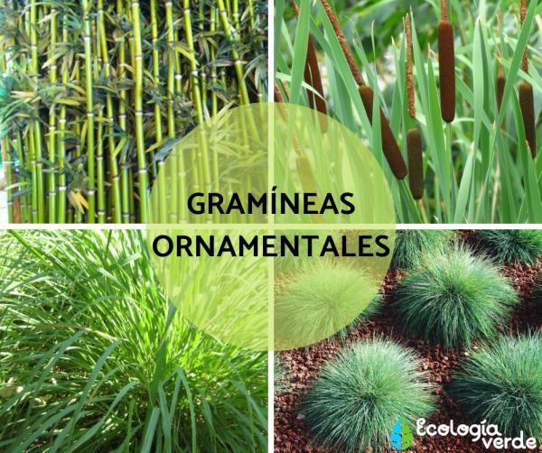 Qué son las gramíneas - Gramíneas ornamentales – ejemplos
