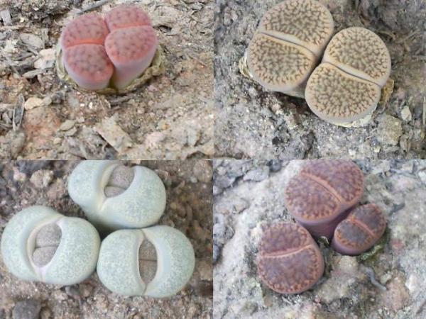 Cactus piedra o lithops: cuidados