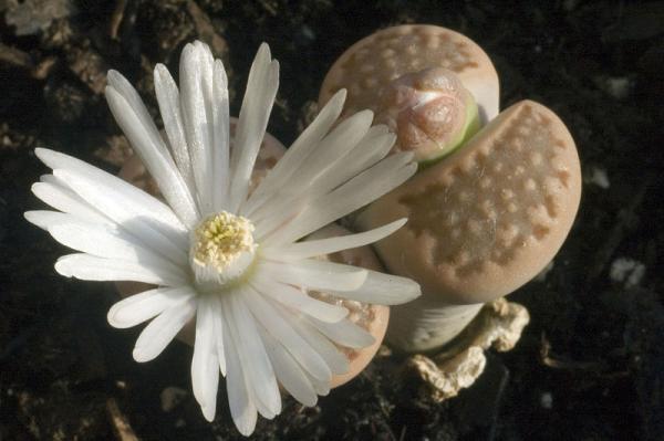 Cactus piedra o lithops: cuidados - Características del cactus piedra o lithops