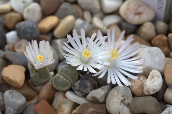 Cactus piedra o lithops: cuidados - Cuidados del cactus piedra o lithops - guía práctica