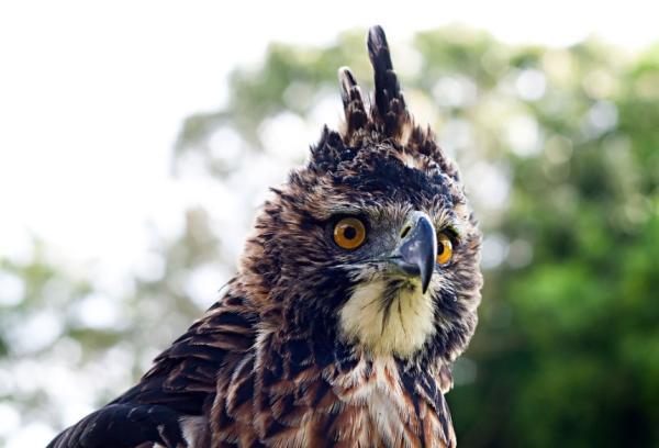Animales en peligro de extinción en El Salvador - Águila elegante