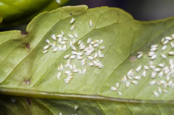 Control biológico de plagas: qué es, ventajas, desventajas y ejemplos - Ejemplos de control biológico de plagas