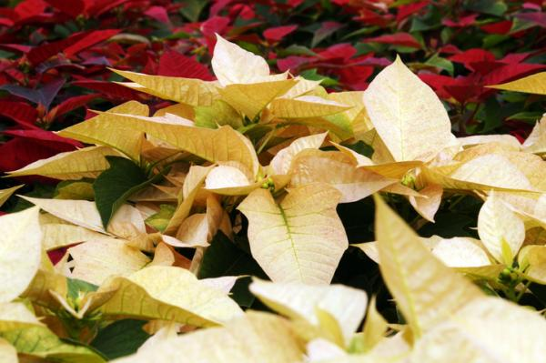 Cómo hacer que la flor de Pascua se ponga roja - Por que a mi flor de Pascua no le salen hojas rojas