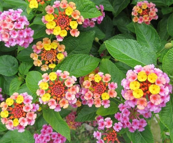 21 arbustos con flores