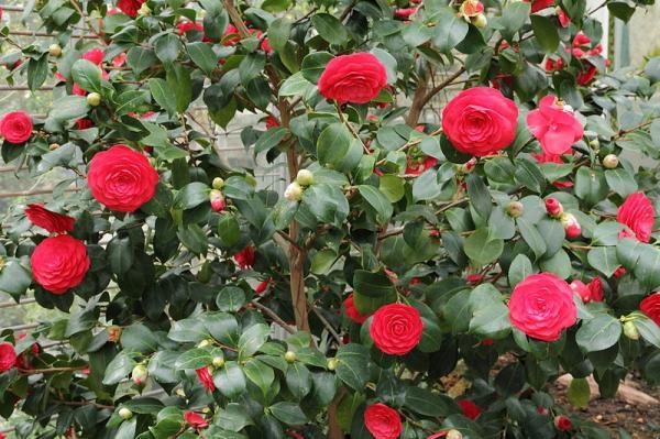 21 arbustos con flores - Camelia