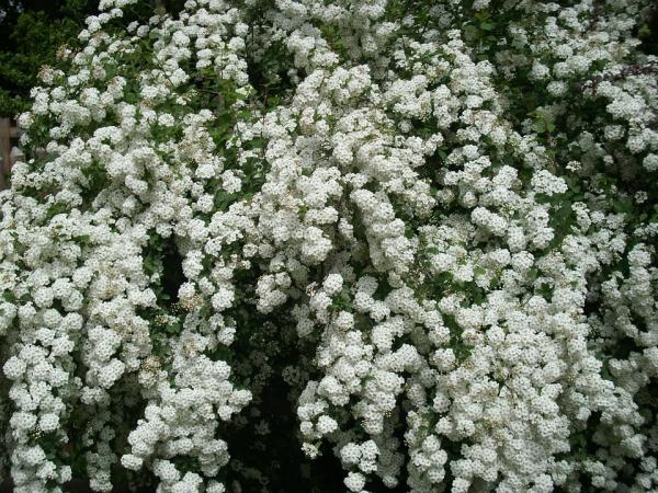 21 arbustos con flores - Espirea