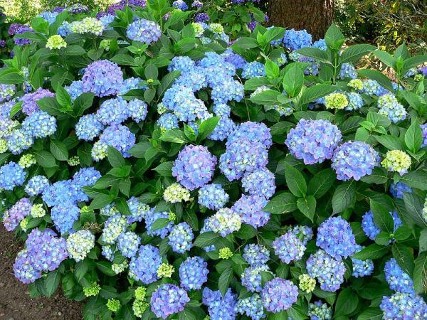 21 arbustos con flores - Hortensias