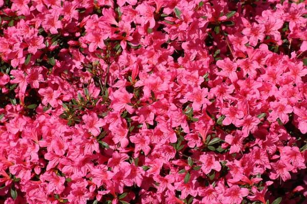 21 arbustos con flores - Otros arbustos con flores