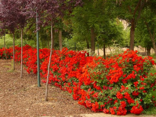21 arbustos con flores - Rosal La Sevillana