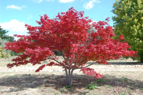 Plantas acidófilas: qué son, ejemplos y cuidados - Acer palmatum o arce japonés