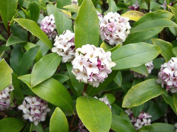Plantas acidófilas: qué son, ejemplos y cuidados - Daphne odora o dafne