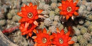 Tipos de cactus con flores