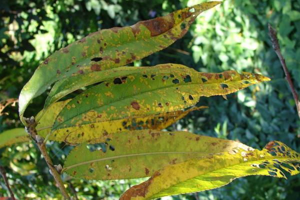 Enfermedades del melocotonero - Stigmina Carpophila o cribado