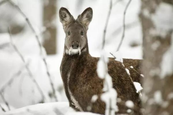15 animales de Rusia - El ciervo almizclero siberiano (Moschus moschiferus)