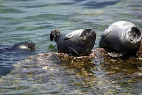 15 animales de Rusia - El nerpa o la foca del Baikal (Pusa sibirica)