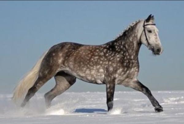 15 animales de Rusia - El trotón de Orlov (Equus ferus caballus)