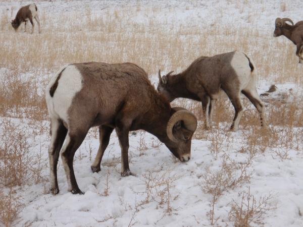 15 animales de Rusia - La oveja de las nieves (Ovis nivicola)