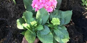 Cómo plantar hortensias
