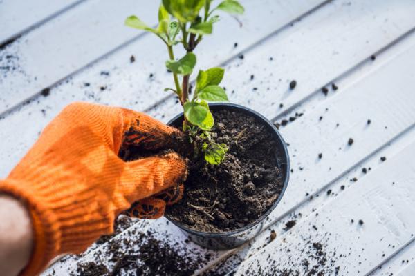 Cómo plantar hortensias - Cómo plantar hortensias por esquejes