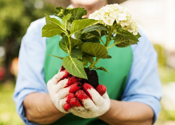 Cómo plantar hortensias - Cuándo plantar hortensias