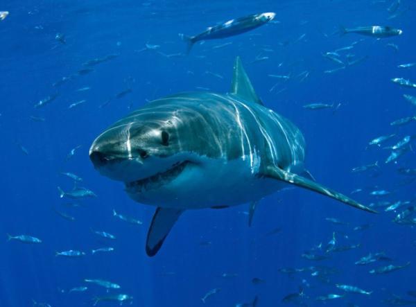 Clasificación de los peces - Peces cartilaginosos o condrictios