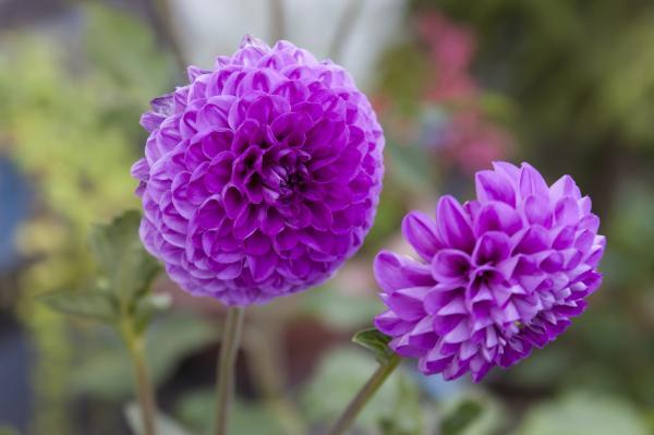 16 plantas de jardín con flores resistentes al sol - Dahlia o dalia