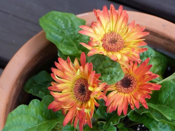 16 plantas de jardín con flores resistentes al sol - Gerbera