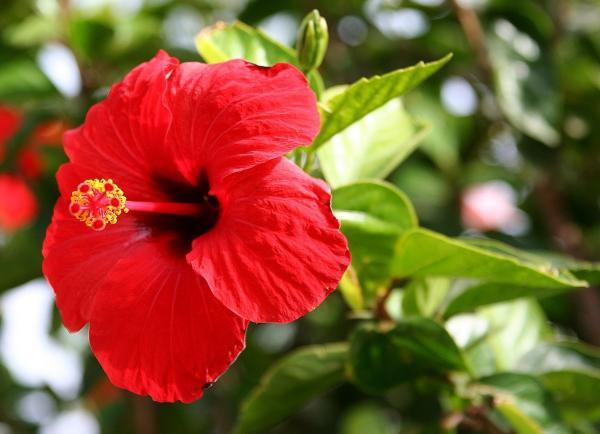 16 plantas de jardín con flores resistentes al sol - Hibiscus o hibisco