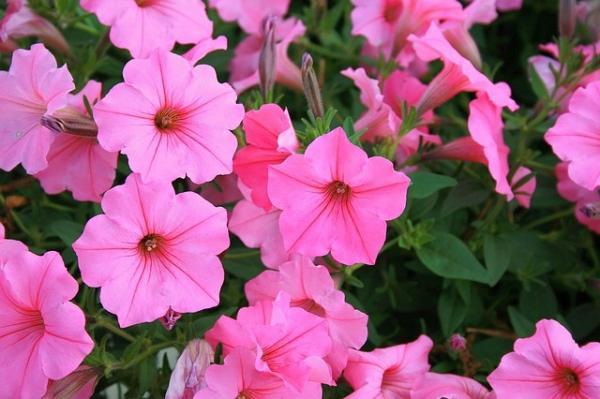 16 plantas de jardín con flores resistentes al sol - Petunias