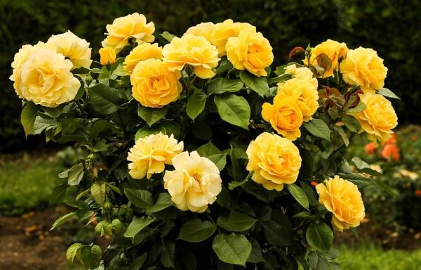 16 plantas de jardín con flores resistentes al sol - Rosales