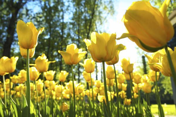 16 plantas de jardín con flores resistentes al sol - Tulipanes