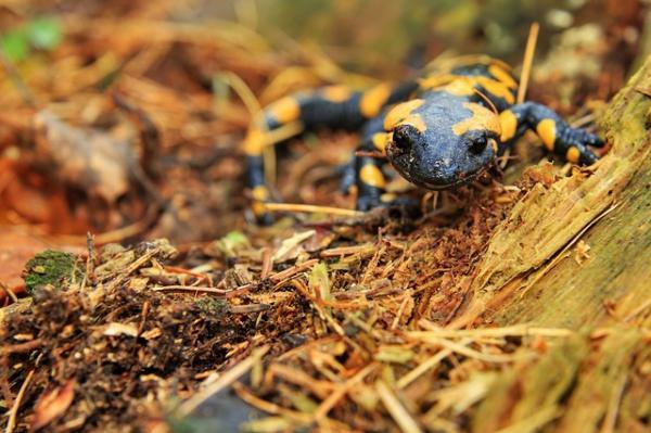 ¿Son venenosas las salamandras? - ¿Las salamandras son peligrosas para los humanos?