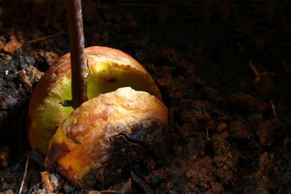 Cuidados del aguacate en maceta - Cómo trasplantar un aguacate en maceta