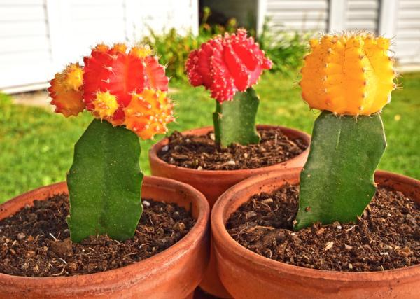Injerto de cactus: cómo hacerlo y cuidados