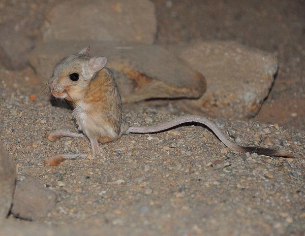 Los animales más pequeños del mundo - Jerbo pigmeo o Pygmy Jerboa